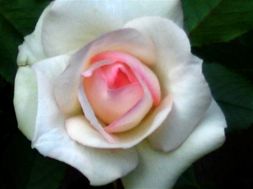 Flowerrose_1